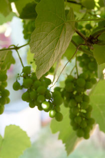 clusters of grapes by Altug TEZER