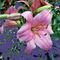 0066-pinkfarbige-lilie