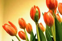Tulpen in lachs von Ingrid Clement-Grimmer