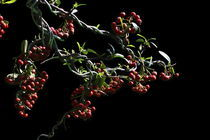 Bonsai, Berries von Soumen Nath