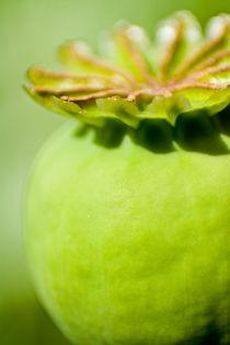 Mohnfrucht von stelda