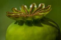 Mohnkrönchen von stelda