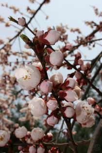Blossoms in Korea by whimsicalife