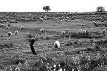 Sardische Schafweide von captainsilva