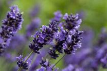 Lavender von George Kay