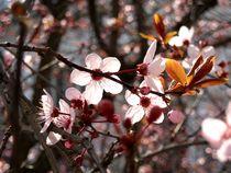 Cherry blossom by Iulia Stancu