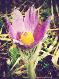 Haller's Pasqueflower by frenchbear