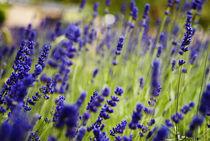 Lavender von tgigreeny