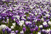 Purple-and-white