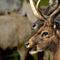 Deer-knowsley