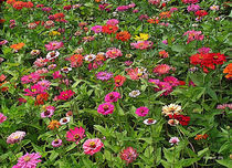 Field of Zinnias by © CK Caldwell