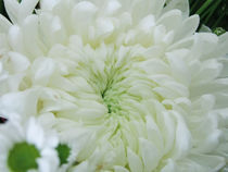 Chrysanthemum von reorom