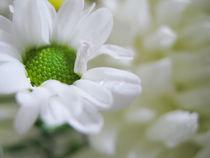 White flower von reorom