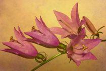Glockenblume by Elke Balzen
