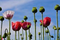 himmlische Blumen von stelda