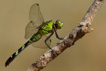 Eastern Pondhawk (Erythemis simplicicollis) by Howard Cheek