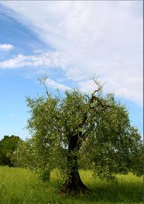 Olivenbaum - Olea europaea by pichris