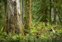 Hoh Rainforest von tgigreeny