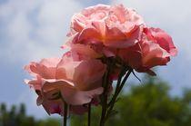 Rose von tgigreeny