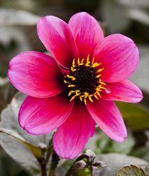 Pink. von tgigreeny