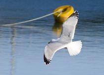 Gull von tgigreeny