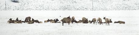 Deer-panorama