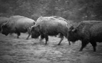 Buffalo in the Snow by tgigreeny