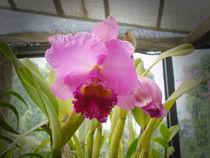 Purple Orchid von reorom