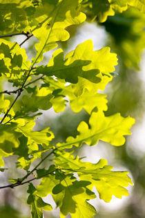 Frühlingseichengrün von stelda