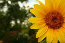 sunflower von Samantha moyer