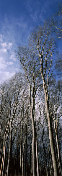 Beech trees in a forest, Wienerwald, Vienna, Austria by Panoramic Images