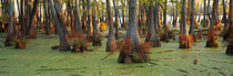 Bald cypress trees (Taxodium disitchum) in a forest, Illinois, USA von Panoramic Images