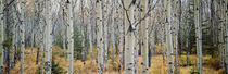 Aspen trees in a forest, Alberta, Canada by Panoramic Images