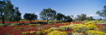 Almond trees in a field, Poppy Meadow, Majorca, Spain von Panoramic Images