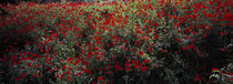 Poppy flowers in a field, Sangzor, Uzbekistan von Panoramic Images
