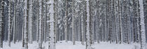 Snow covered trees in a forest, Austria von Panoramic Images
