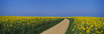 Dirt road running through an oilseed rape field, Germany by Panoramic Images