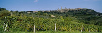 Low Angle View Of A Vineyard, San Gimignano, Tuscany, Italy by Panoramic Images