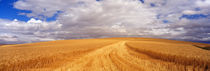 Wheat Field, Washington State, USA by Panoramic Images