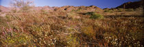 Wildflowers in a field, Anza Borrego Desert State Park, California, USA by Panoramic Images
