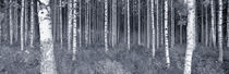 Birch Trees In A Forest, Finland by Panoramic Images