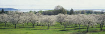 Cherry trees in an orchard, Mission Peninsula, Traverse City, Michigan, USA von Panoramic Images