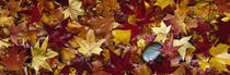 Maple leaves by Panoramic Images