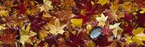 Maple leaves von Panoramic Images