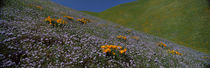 Wildflowers on a hillside, California, USA by Panoramic Images