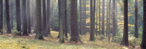 Trees in the forest, South Bohemia, Czech Republic by Panoramic Images