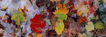 Frost on leaves, Vermont, USA by Panoramic Images