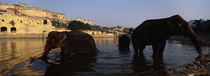 Three elephants in the river, Amber Fort, Jaipur, Rajasthan, India by Panoramic Images