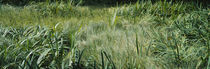 Grass on a marshland, England by Panoramic Images