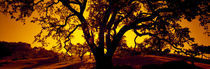 Silhouette of Coast Live Oak trees (Quercus agrifolia), California, USA by Panoramic Images